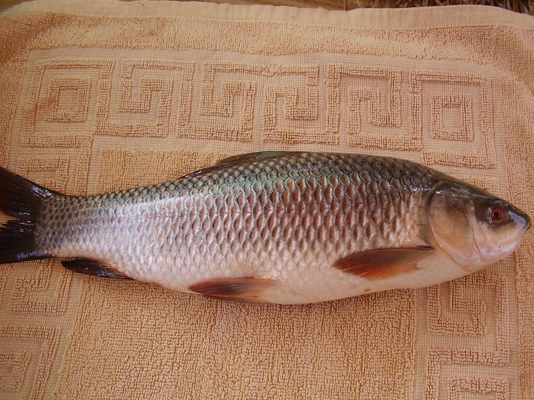 Cá trôi ấn độ